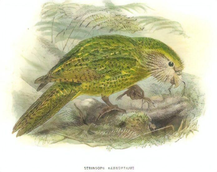The Kakapo Parrot