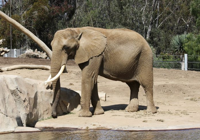 African bush elephant at the San Diego Zoo