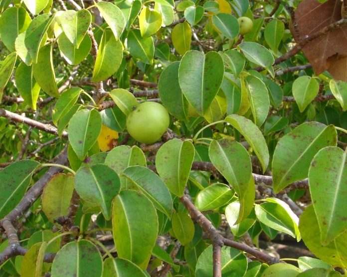 A manchineel tree