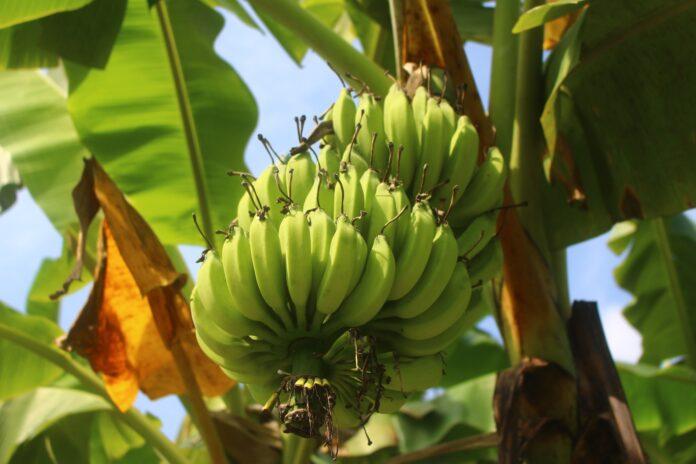 Bananas on a banana plant
