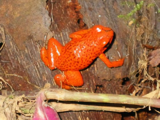A poison dart frog