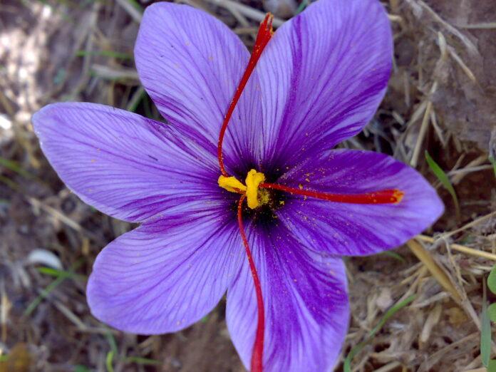 A saffron flower