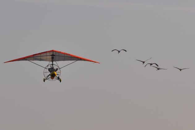 Whooping cranes following an ultralight airplane