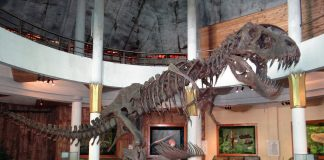 A dinosaur skeleton at a museum