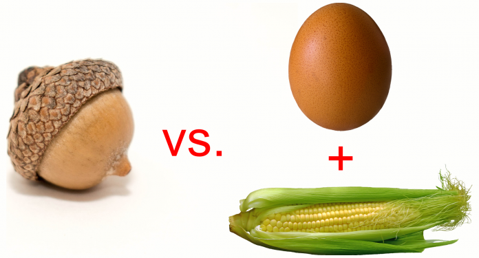 Acorn vs. egg + corn