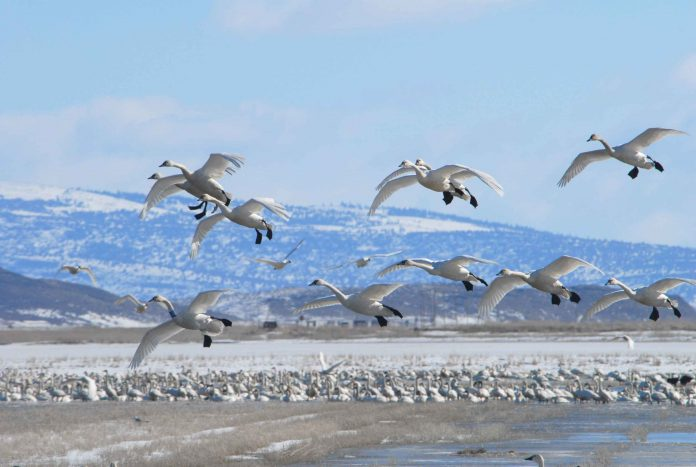 Swans n flight during winter migration