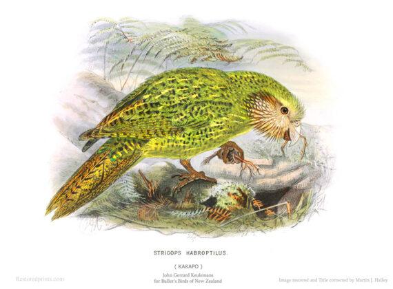 Illustration of a Kakapo