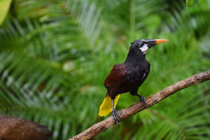 A Montezuma Oropendola