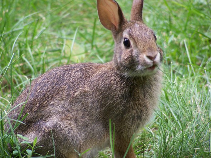 This is just a rabbit. It isn't even from Wales.