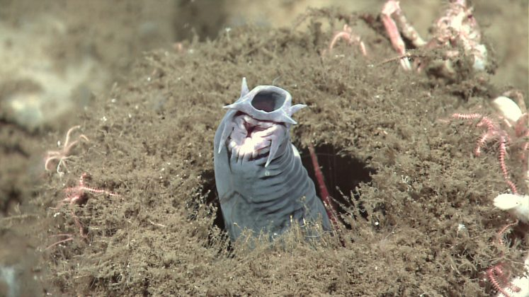 A hagfish protruding from a sponge