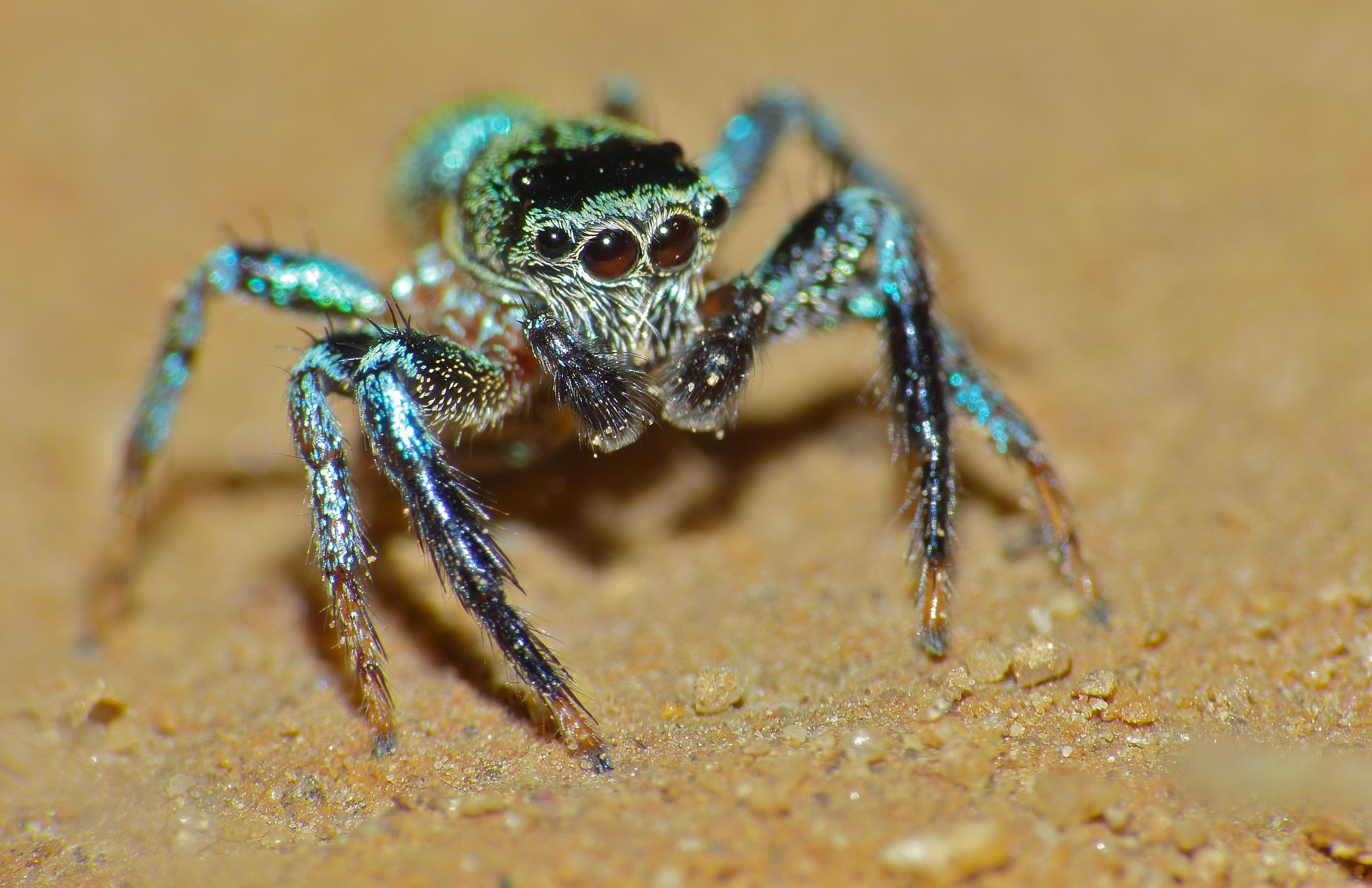 Jumping Spiders Interesting Thing Of The Day