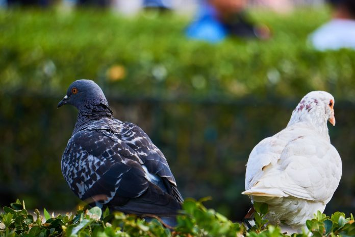 A pair of opposite-colored pigeons
