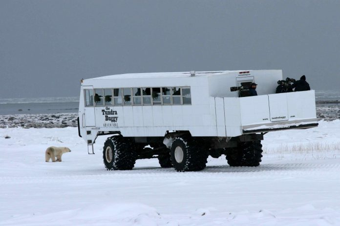 A Tundra Buggy comes upon a polar bear