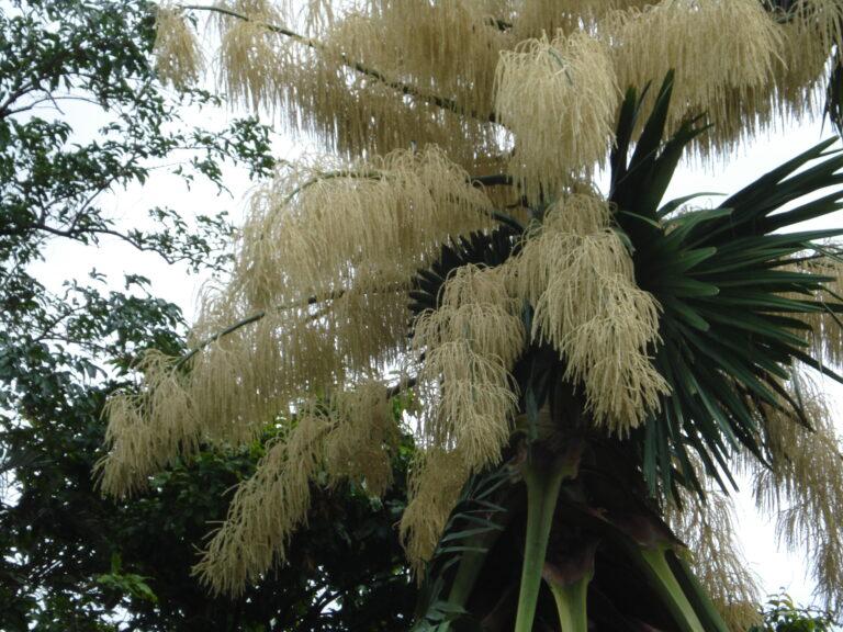 A flowering Talipot Palm