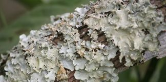 Lichens on a tree branch